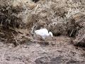 白鷺の追い出し漁